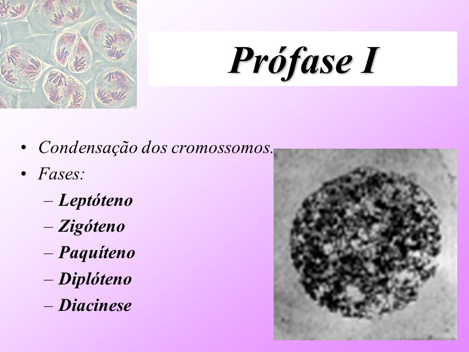 Prófase I Condensação dos cromossomos. Fases: Leptóteno Zigóteno