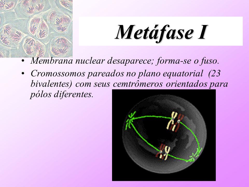 Metáfase I Membrana nuclear desaparece; forma-se o fuso.