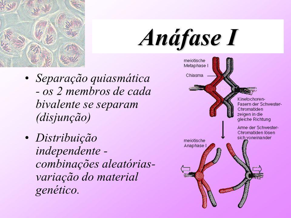 Anáfase I Separação quiasmática - os 2 membros de cada bivalente se separam (disjunção)