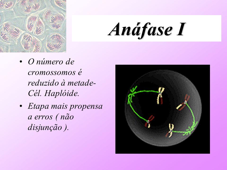 Anáfase I O número de cromossomos é reduzido à metade- Cél. Haplóide.