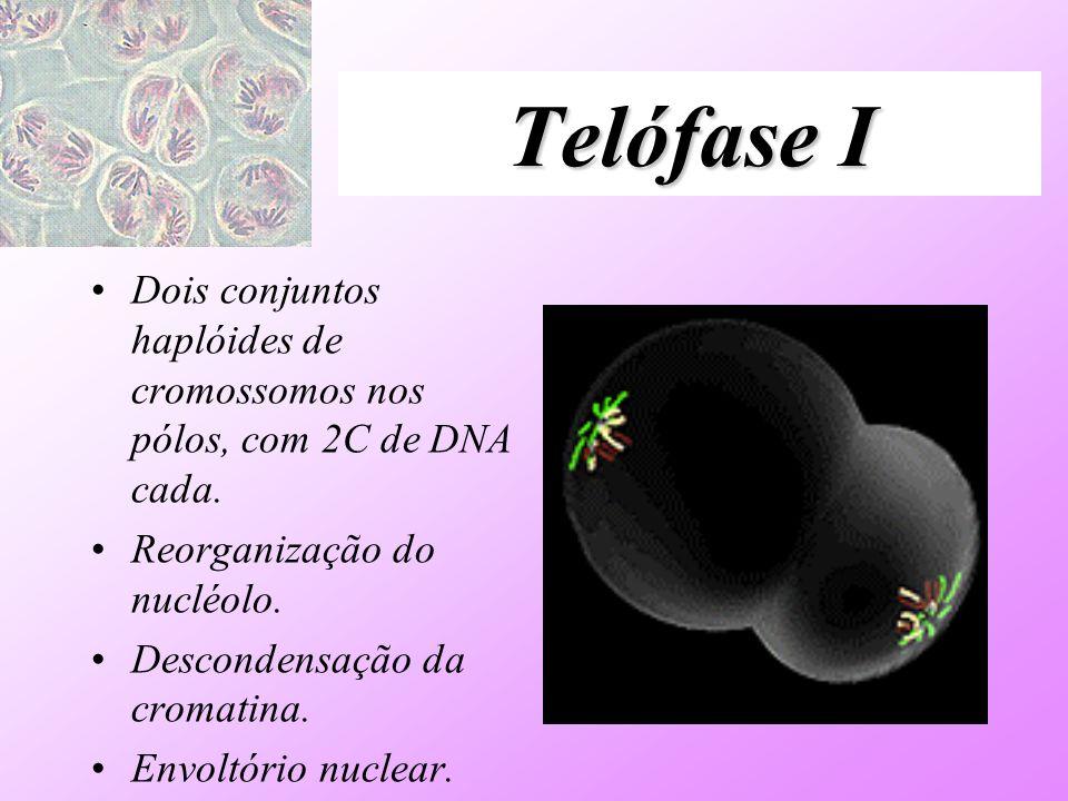 Telófase IDois conjuntos haplóides de cromossomos nos pólos, com 2C de DNA cada. Reorganização do nucléolo.