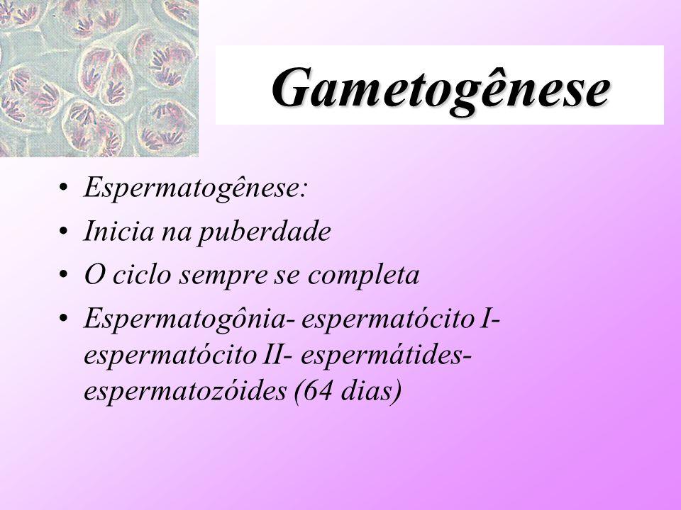 Gametogênese Espermatogênese: Inicia na puberdade