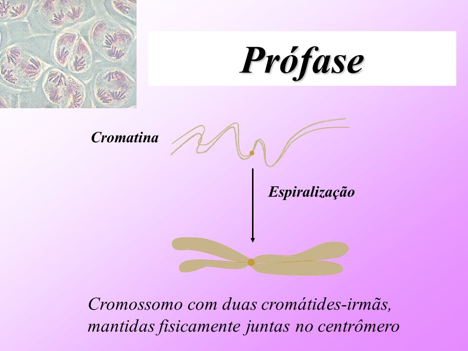 Prófase Cromatina. Espiralização.
