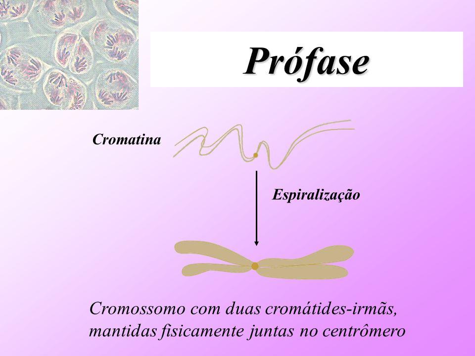 PrófaseCromatina.Espiralização.