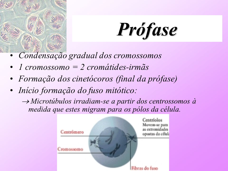 Prófase Condensação gradual dos cromossomos