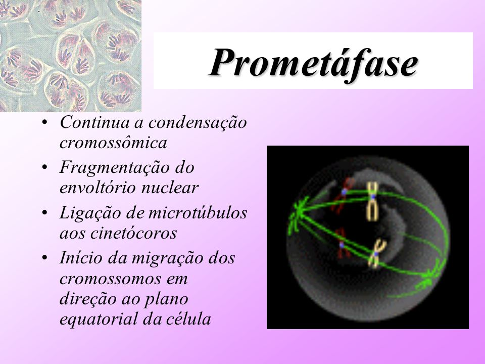 Prometáfase Continua a condensação cromossômica