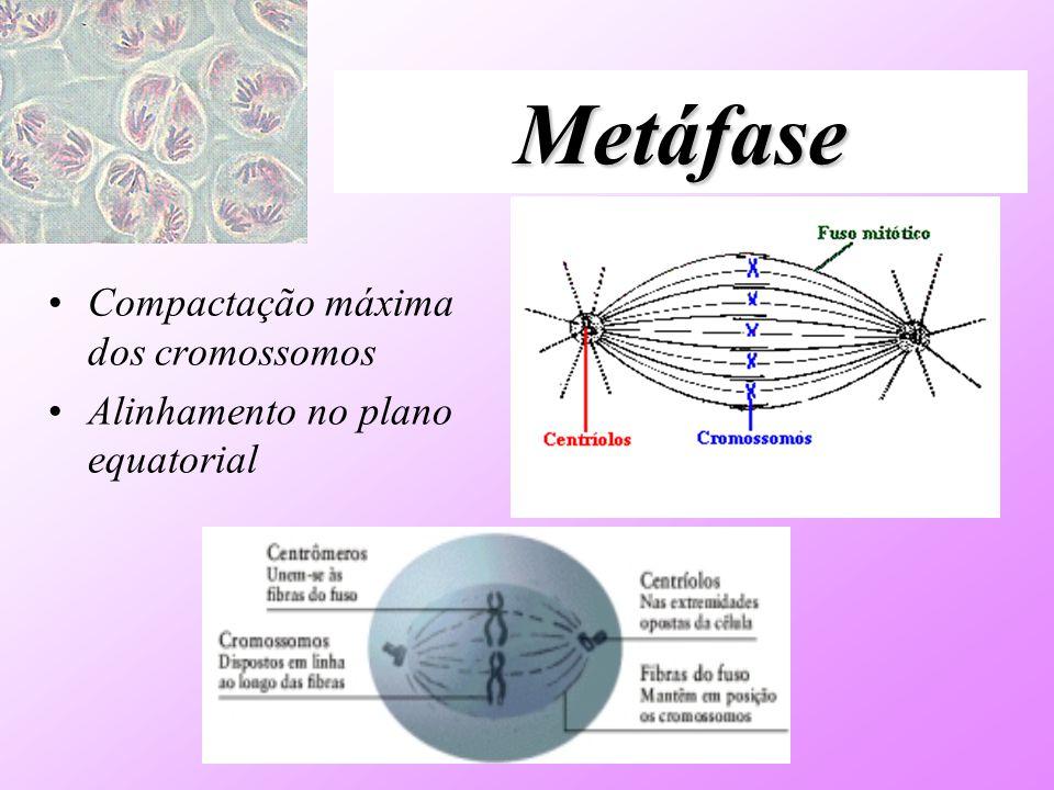 Metáfase Compactação máxima dos cromossomos