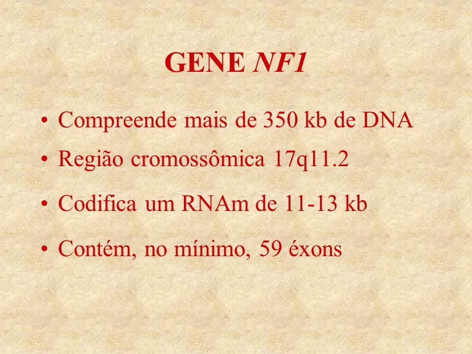 GENE NF1 Compreende mais de 350 kb de DNA Região cromossômica 17q11.2