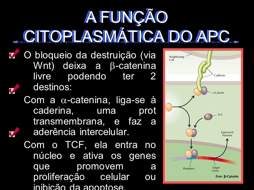 A FUNÇÃO CITOPLASMÁTICA DO APC A FUNÇÃO CITOPLASMÁTICA DO APC