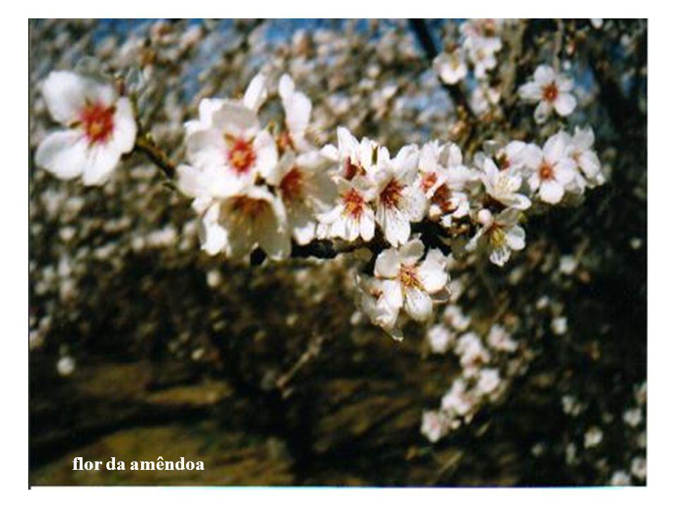 flor da amêndoa