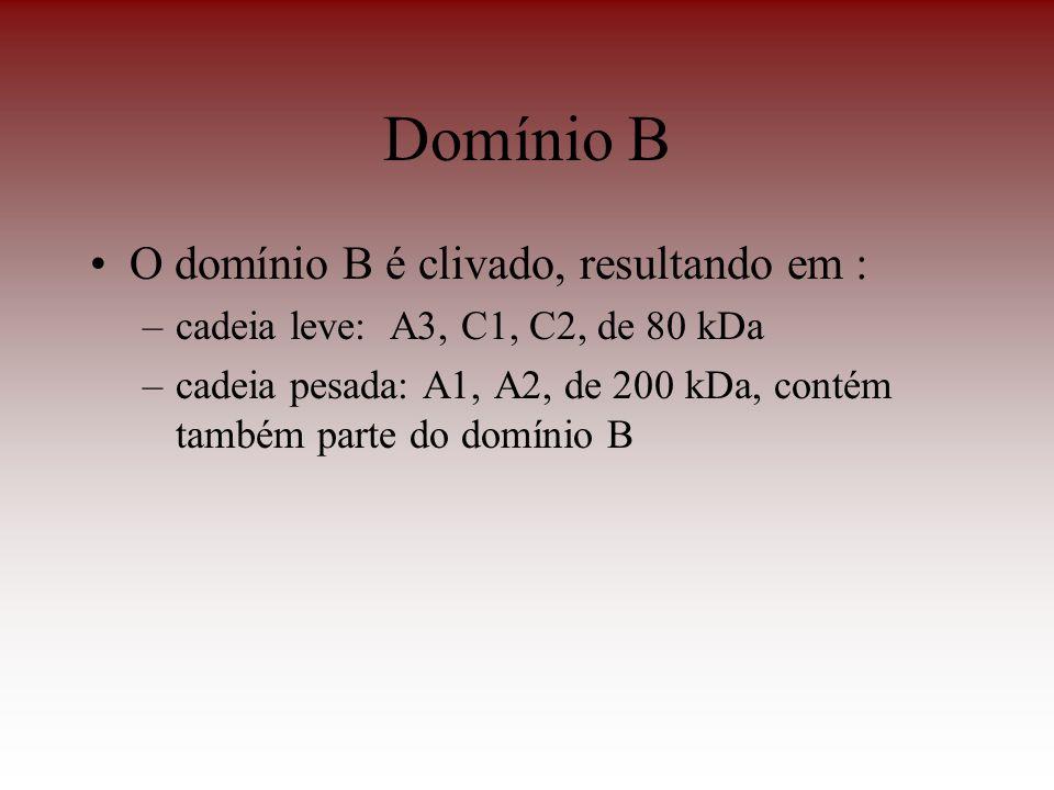 Domínio B O domínio B é clivado, resultando em :