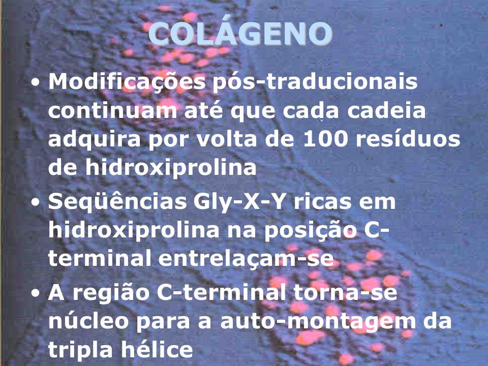 COLÁGENO Modificações pós-traducionais continuam até que cada cadeia adquira por volta de 100 resíduos de hidroxiprolina.