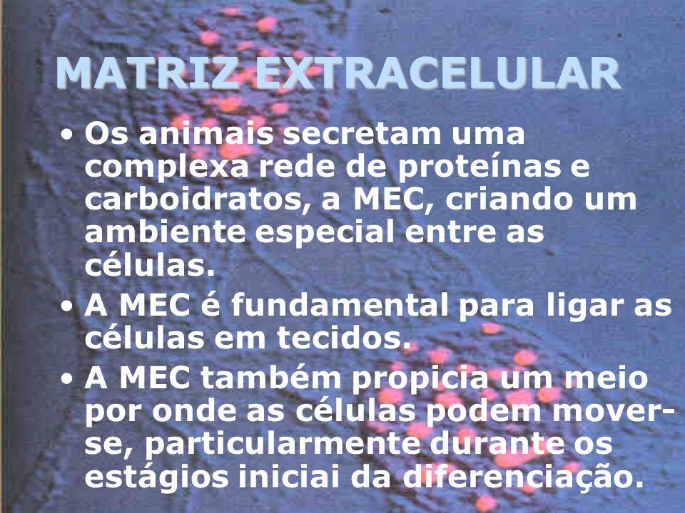 MATRIZ EXTRACELULAR Os animais secretam uma complexa rede de proteínas e carboidratos, a MEC, criando um ambiente especial entre as células.