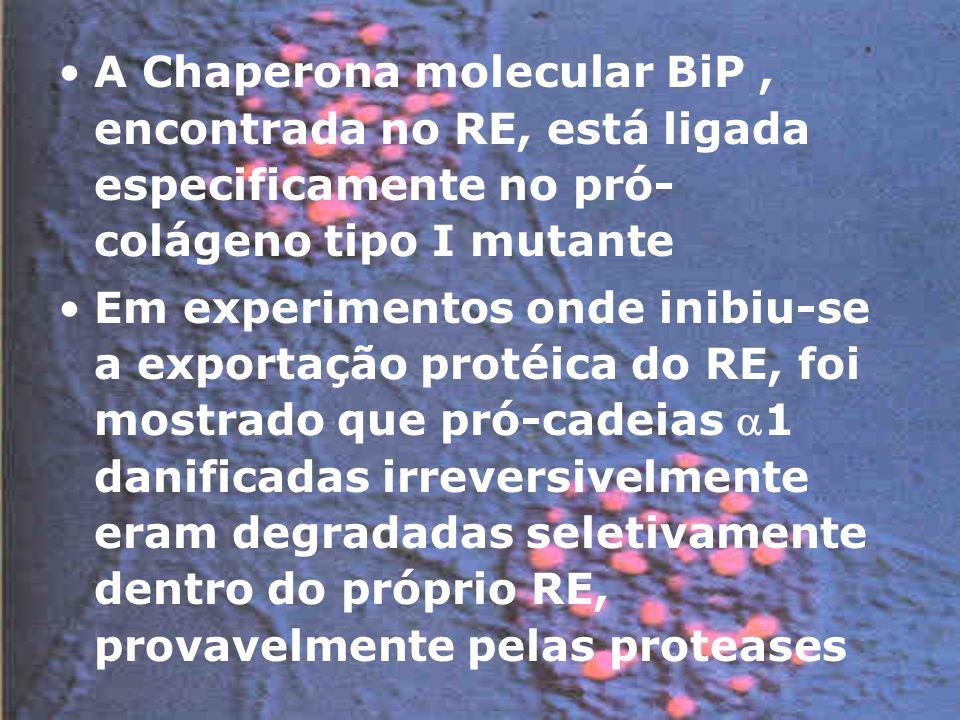 A Chaperona molecular BiP , encontrada no RE, está ligada especificamente no pró-colágeno tipo I mutante