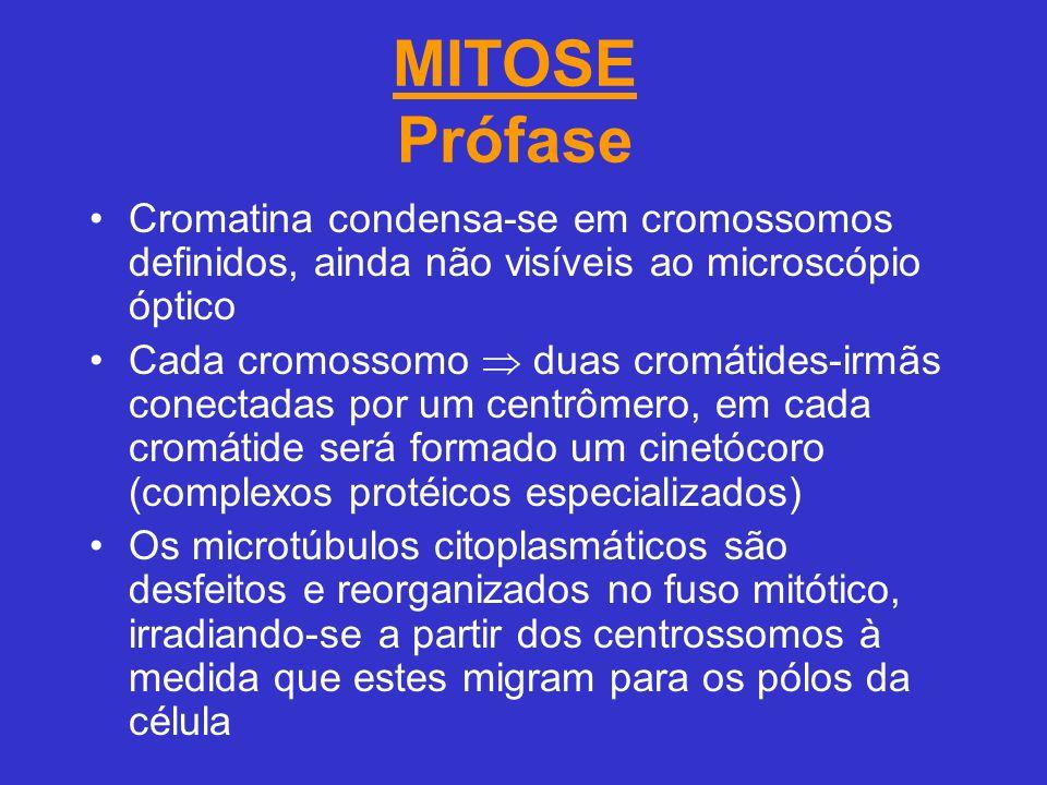 MITOSE Prófase Cromatina condensa-se em cromossomos definidos, ainda não visíveis ao microscópio óptico.