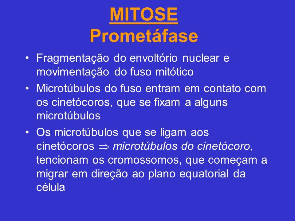 MITOSE Prometáfase Fragmentação do envoltório nuclear e movimentação do fuso mitótico.