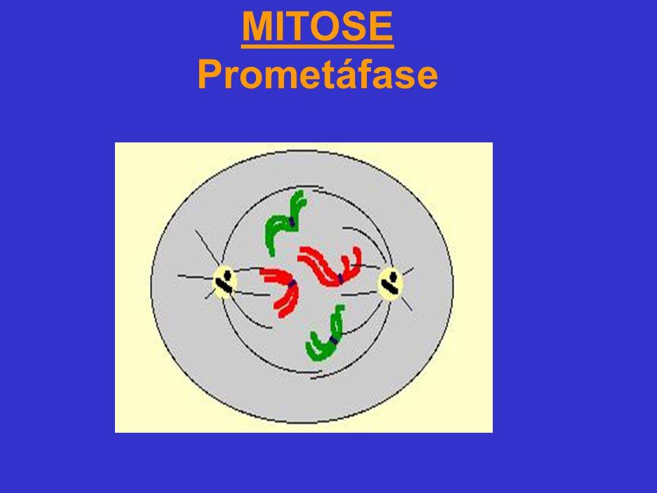 MITOSE Prometáfase