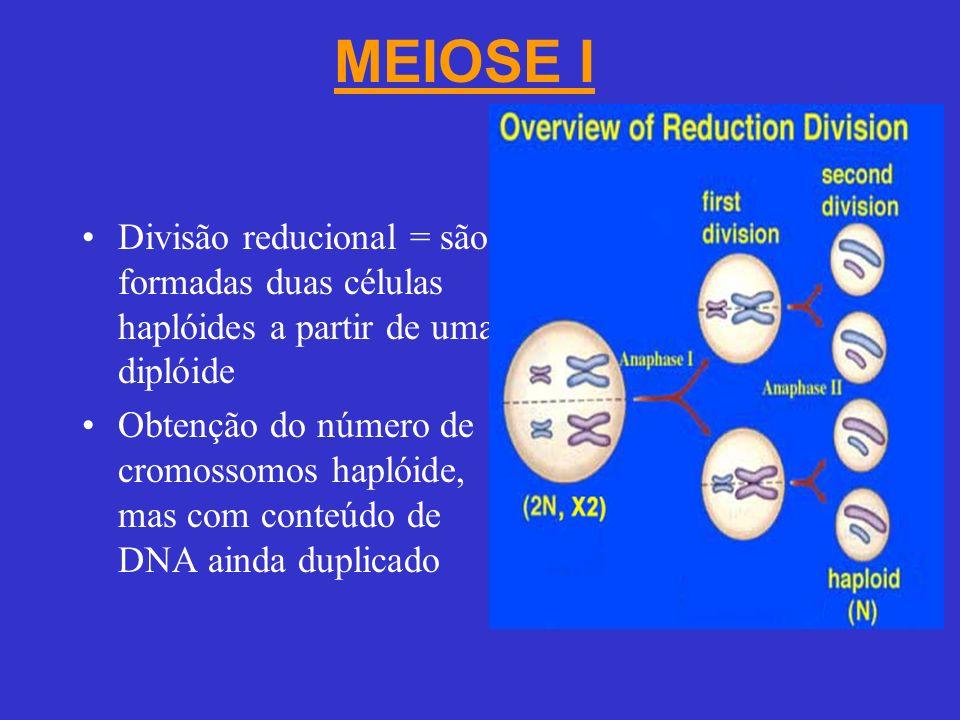 MEIOSE I Divisão reducional = são formadas duas células haplóides a partir de uma diplóide.
