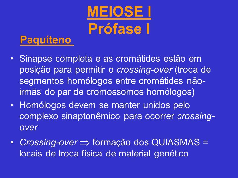 MEIOSE I Prófase I Paquíteno