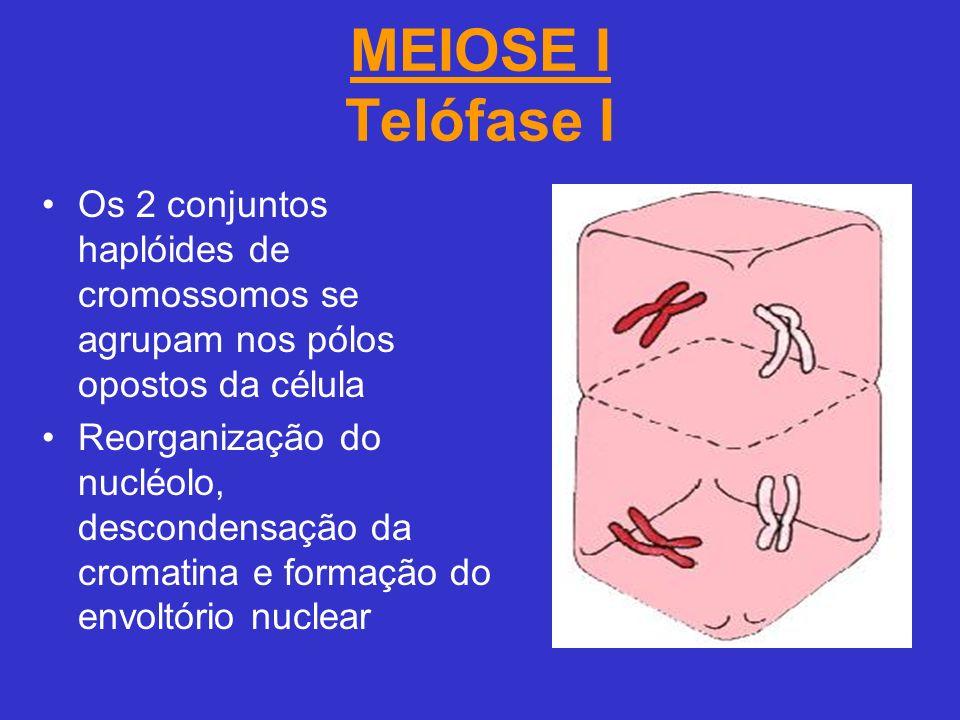 MEIOSE I Telófase I Os 2 conjuntos haplóides de cromossomos se agrupam nos pólos opostos da célula.