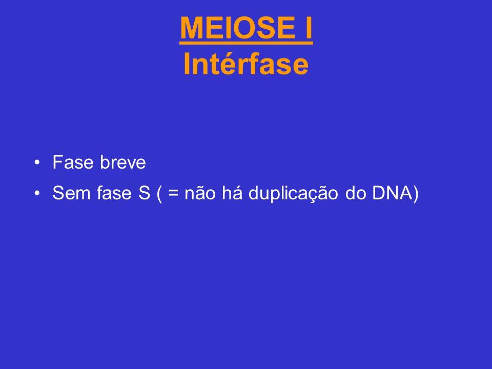 MEIOSE I Intérfase Fase breve Sem fase S ( = não há duplicação do DNA)