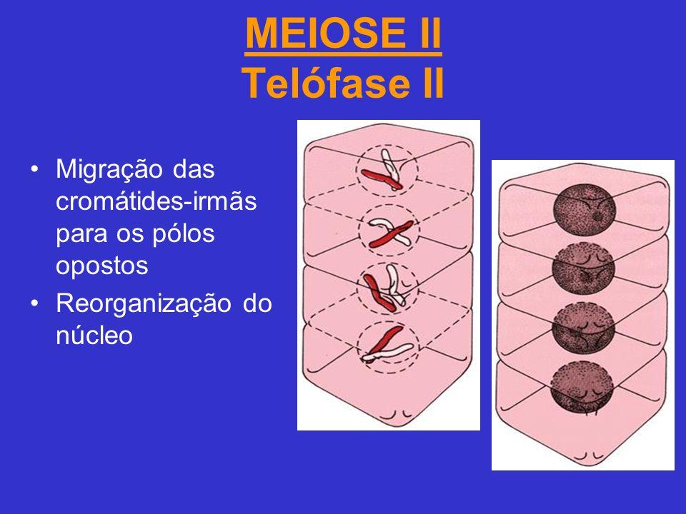 MEIOSE II Telófase II Migração das cromátides-irmãs para os pólos opostos Reorganização do núcleo