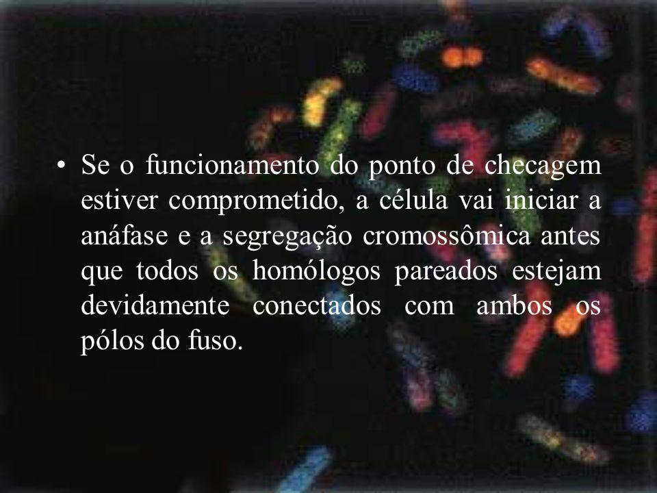 Se o funcionamento do ponto de checagem estiver comprometido, a célula vai iniciar a anáfase e a segregação cromossômica antes que todos os homólogos pareados estejam devidamente conectados com ambos os pólos do fuso.