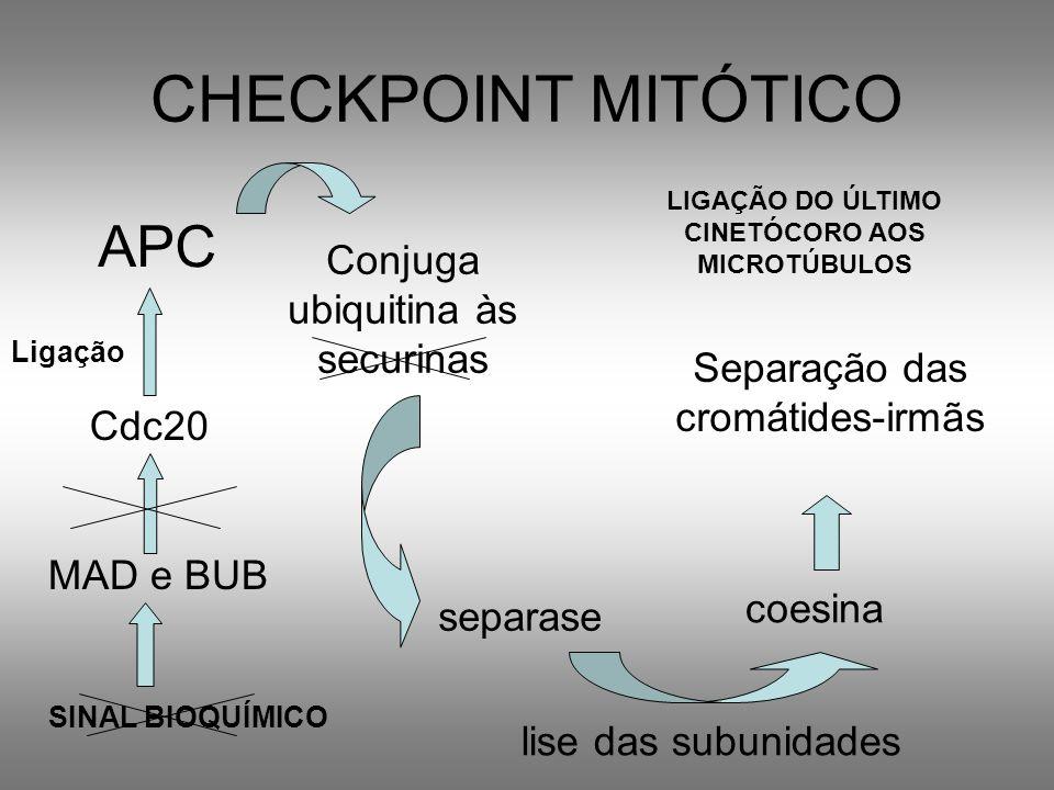 LIGAÇÃO DO ÚLTIMO CINETÓCORO AOS MICROTÚBULOS