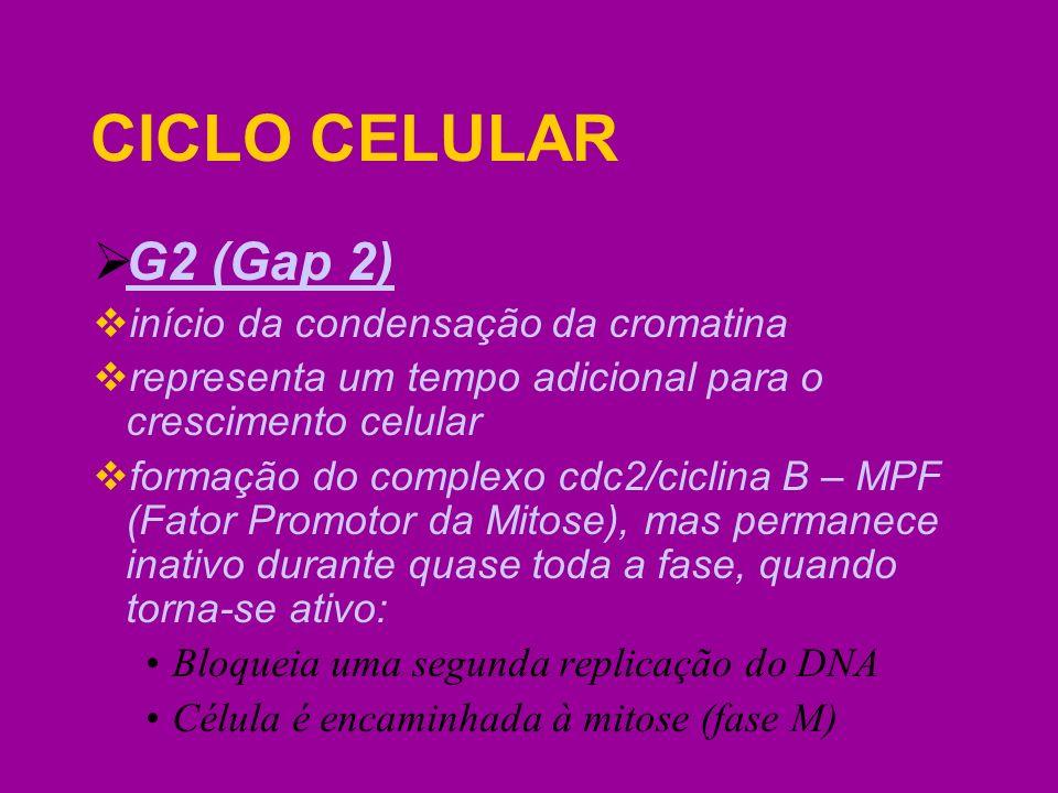 CICLO CELULAR G2 (Gap 2) início da condensação da cromatina