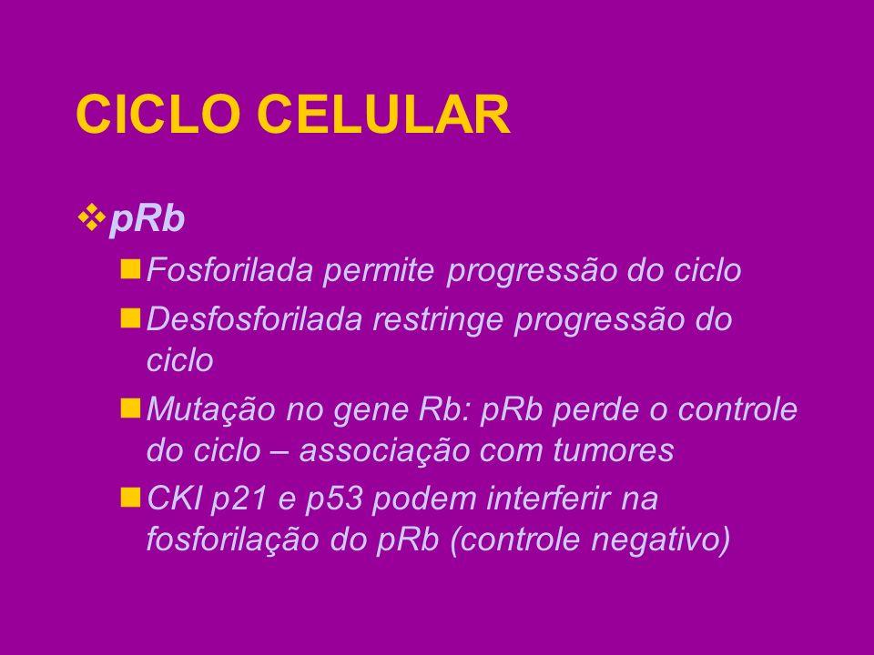 CICLO CELULAR pRb Fosforilada permite progressão do ciclo