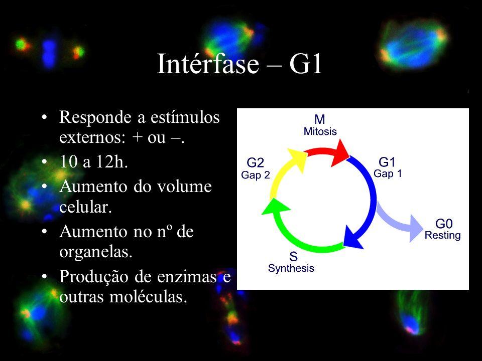 Intérfase – G1 Responde a estímulos externos: + ou –. 10 a 12h.