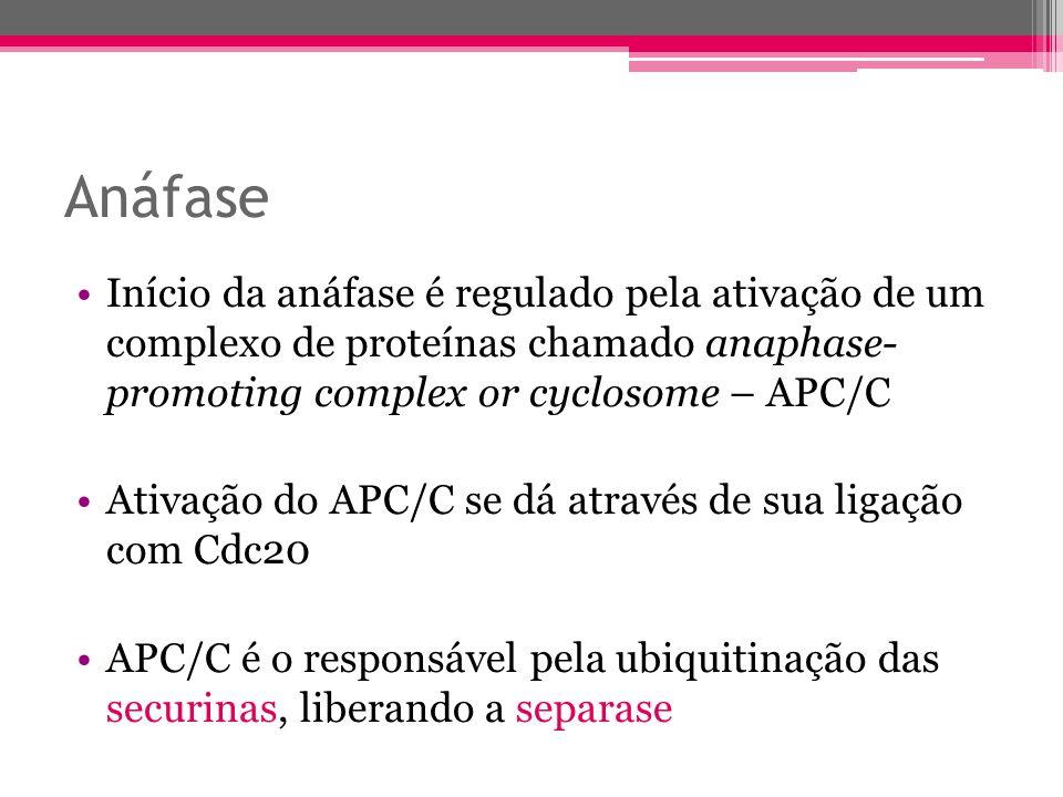 Anáfase Início da anáfase é regulado pela ativação de um complexo de proteínas chamado anaphase- promoting complex or cyclosome – APC/C.