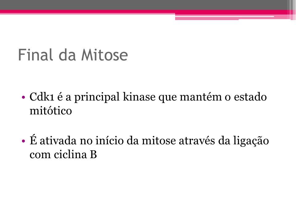 Final da Mitose Cdk1 é a principal kinase que mantém o estado mitótico