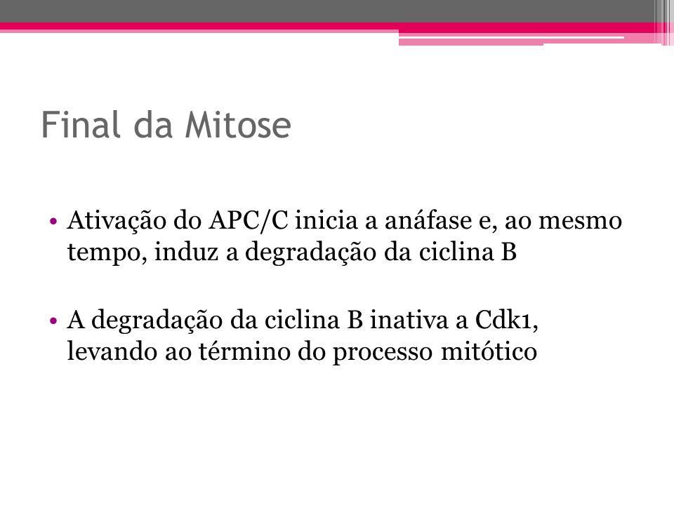 Final da Mitose Ativação do APC/C inicia a anáfase e, ao mesmo tempo, induz a degradação da ciclina B.