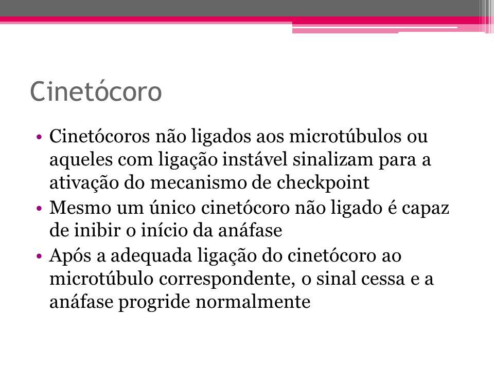 Cinetócoro Cinetócoros não ligados aos microtúbulos ou aqueles com ligação instável sinalizam para a ativação do mecanismo de checkpoint.