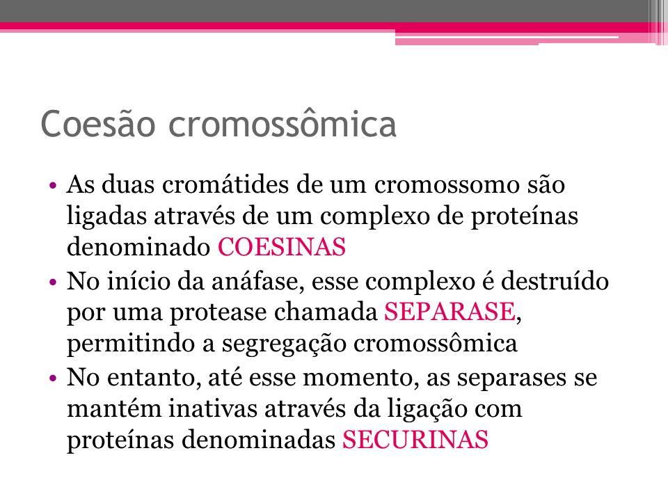 Coesão cromossômica As duas cromátides de um cromossomo são ligadas através de um complexo de proteínas denominado COESINAS.