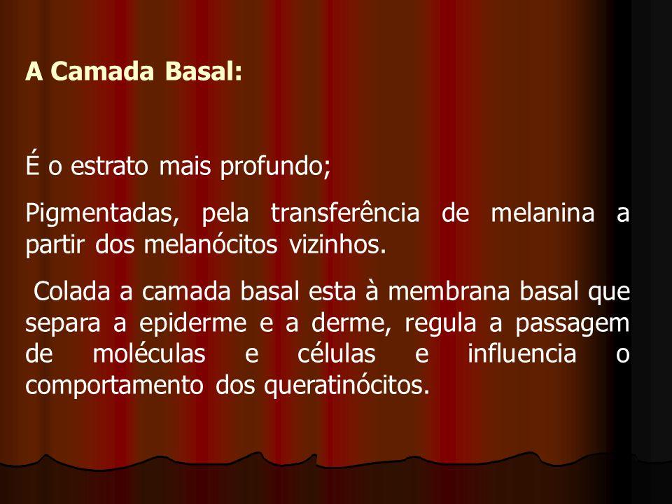 A Camada Basal: É o estrato mais profundo; Pigmentadas, pela transferência de melanina a partir dos melanócitos vizinhos.