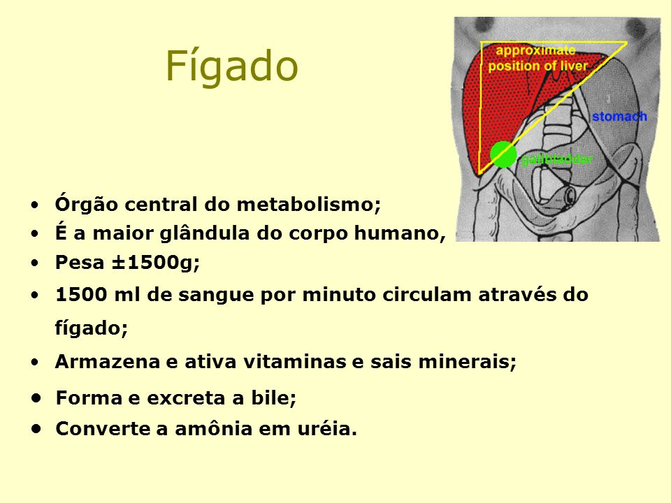 Fígado Órgão central do metabolismo;