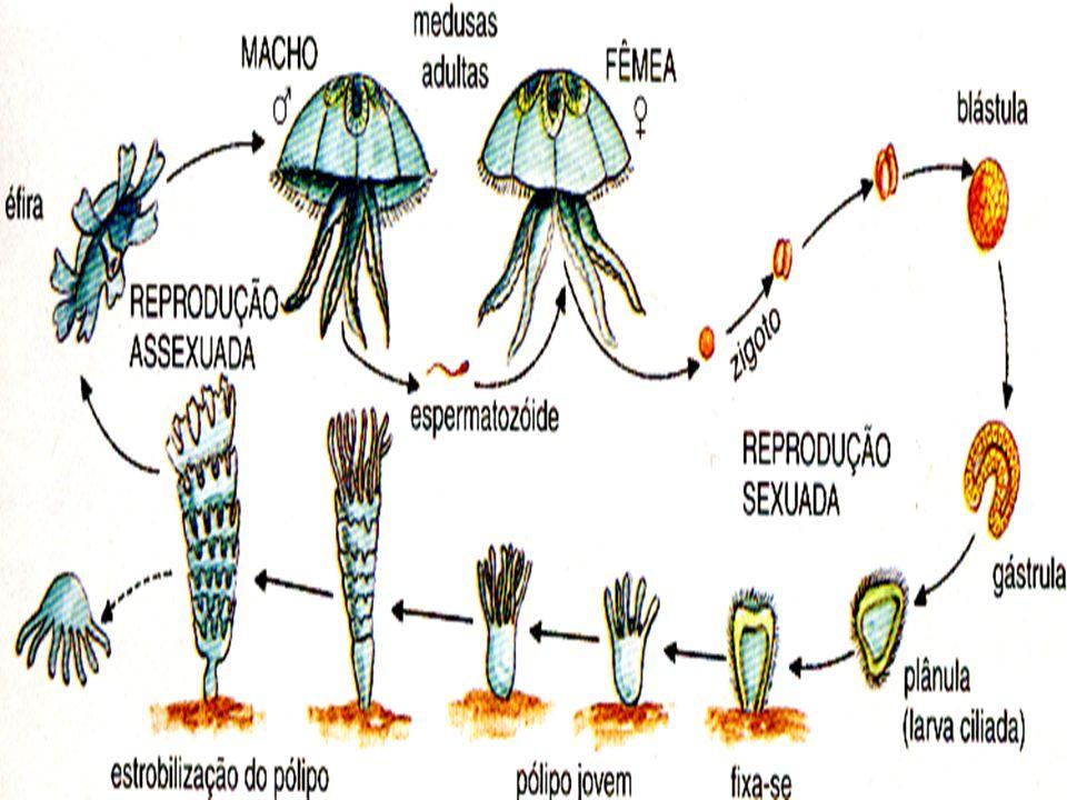 Reprodução em que a fase assexuada alterna com a fase sexuada
