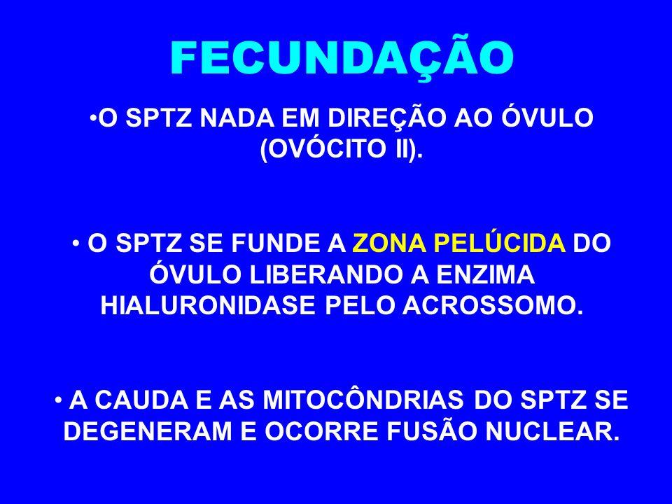 FECUNDAÇÃO O SPTZ NADA EM DIREÇÃO AO ÓVULO (OVÓCITO II).