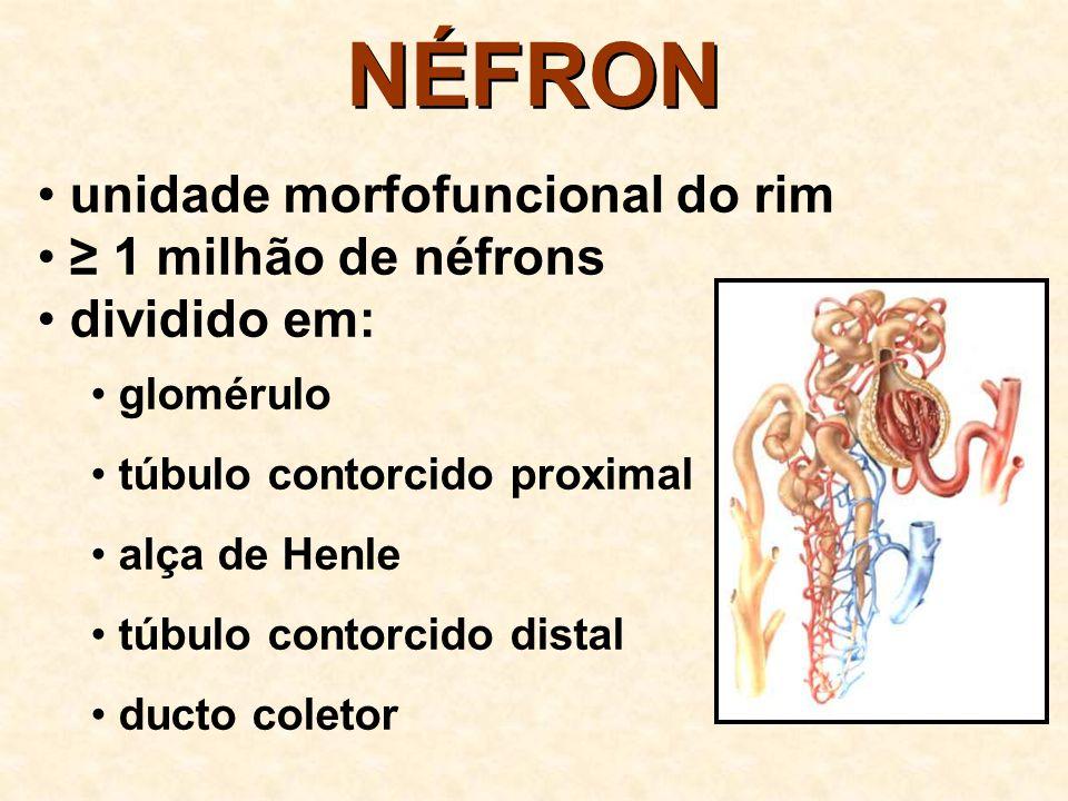NÉFRON unidade morfofuncional do rim ≥ 1 milhão de néfrons