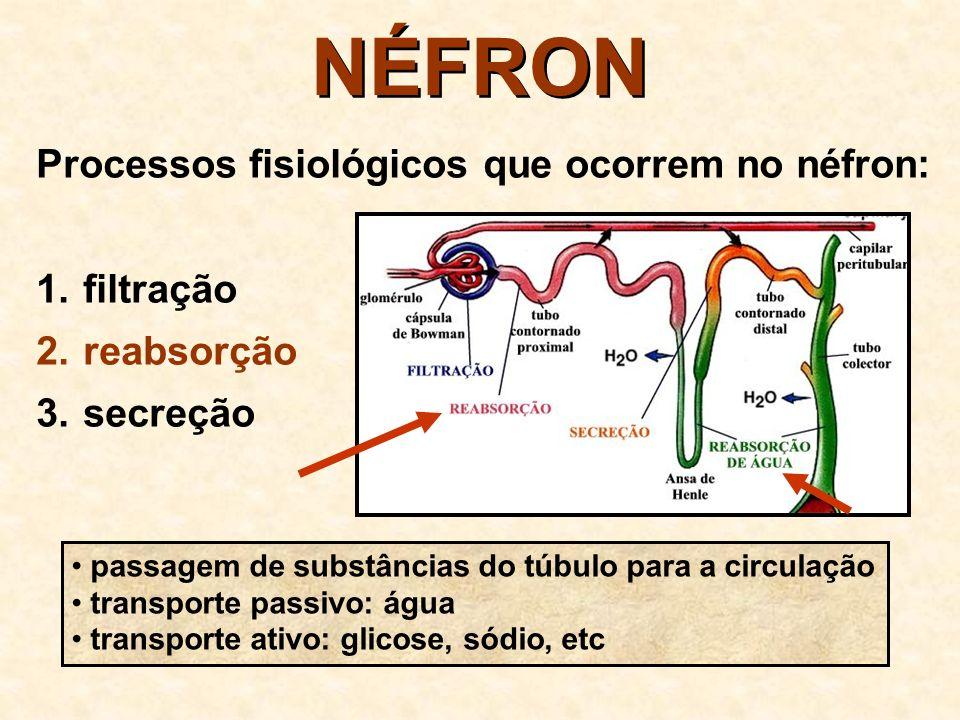 NÉFRON Processos fisiológicos que ocorrem no néfron: filtração