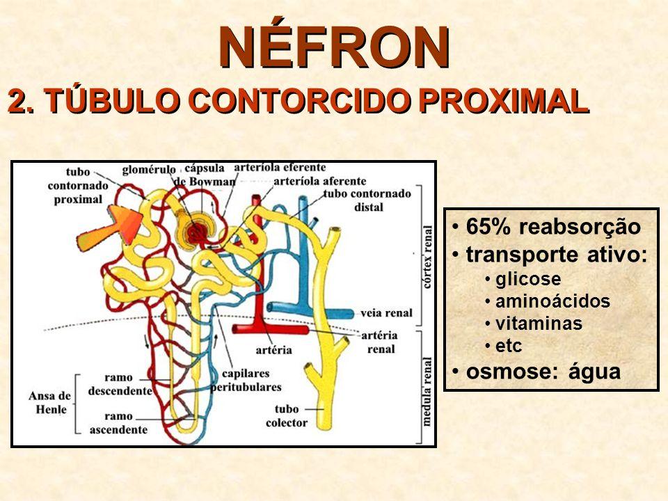 NÉFRON 2. TÚBULO CONTORCIDO PROXIMAL 65% reabsorção transporte ativo:
