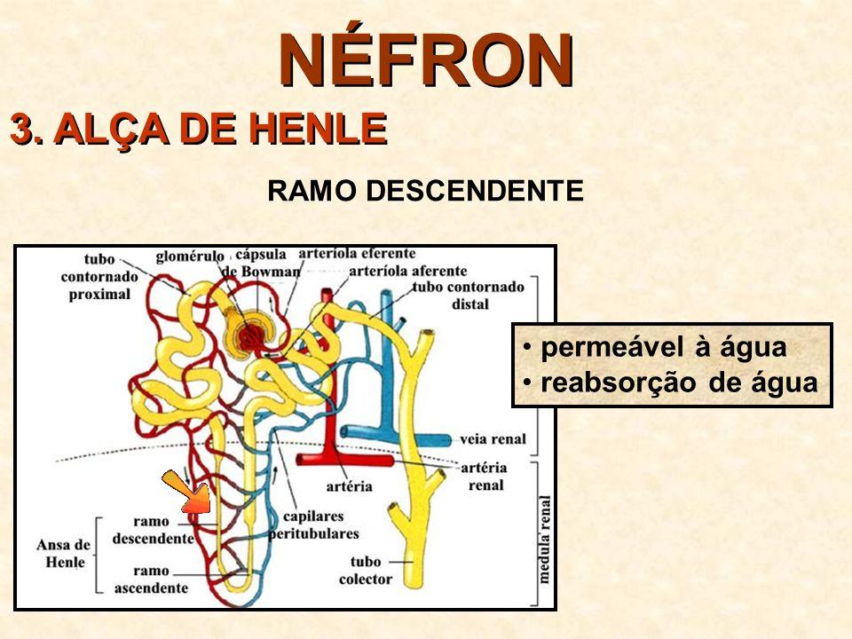 NÉFRON 3. ALÇA DE HENLE RAMO DESCENDENTE permeável à água