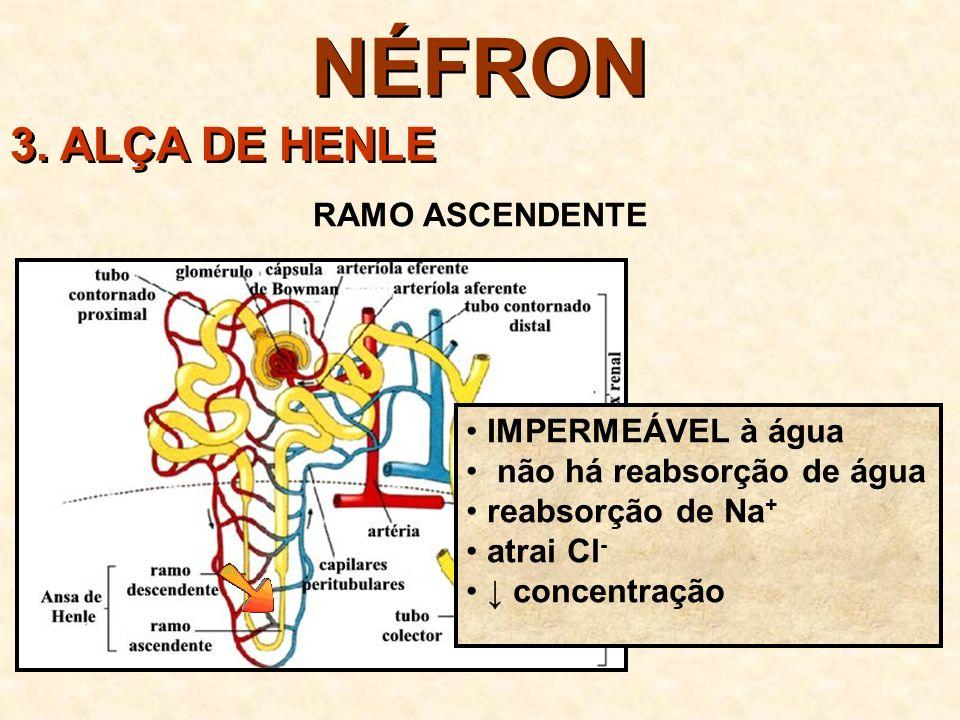 NÉFRON 3. ALÇA DE HENLE RAMO ASCENDENTE IMPERMEÁVEL à água
