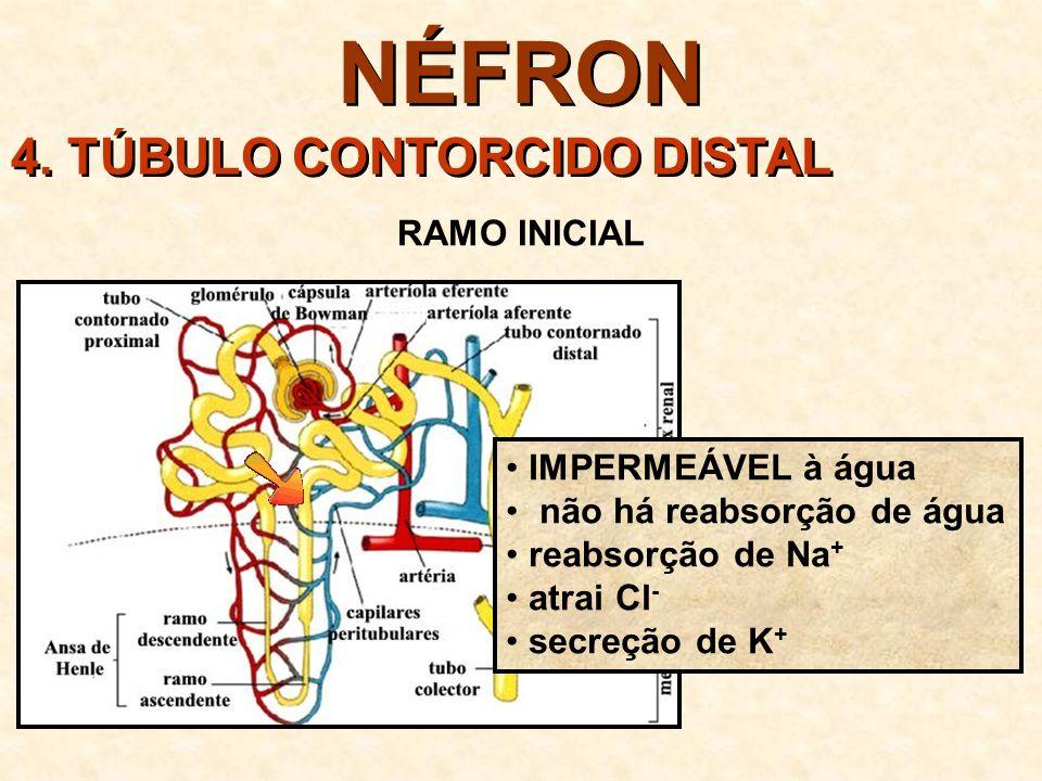NÉFRON 4. TÚBULO CONTORCIDO DISTAL RAMO INICIAL IMPERMEÁVEL à água