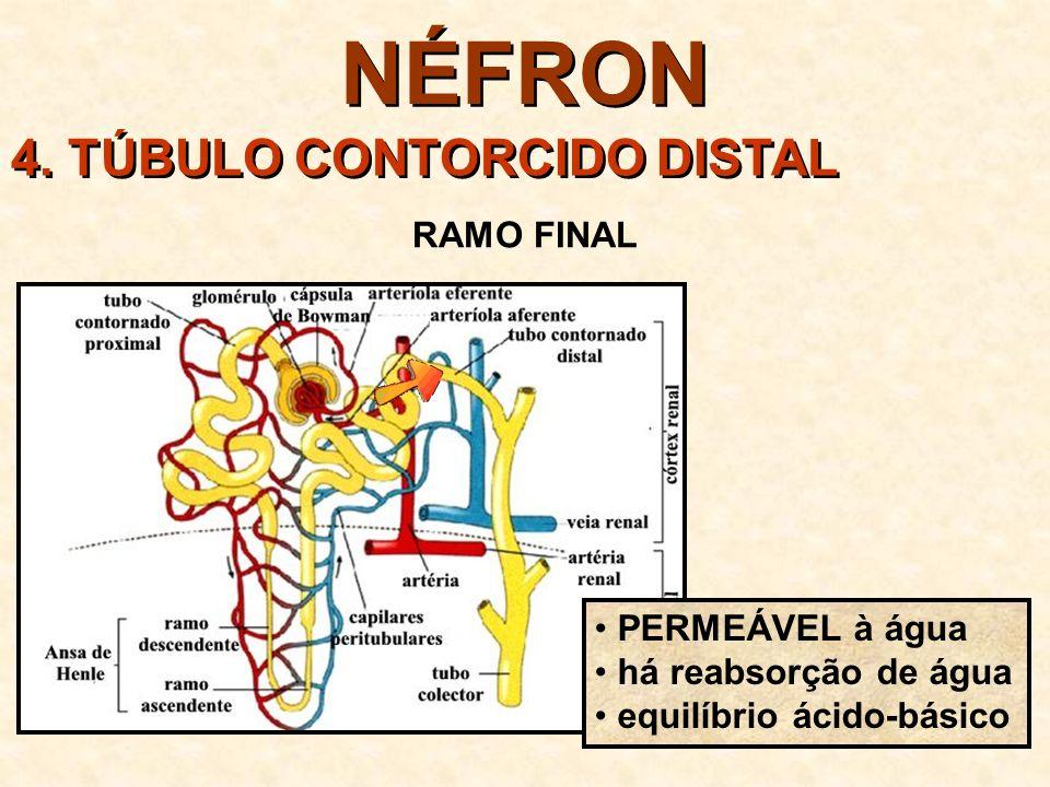 NÉFRON 4. TÚBULO CONTORCIDO DISTAL RAMO FINAL PERMEÁVEL à água