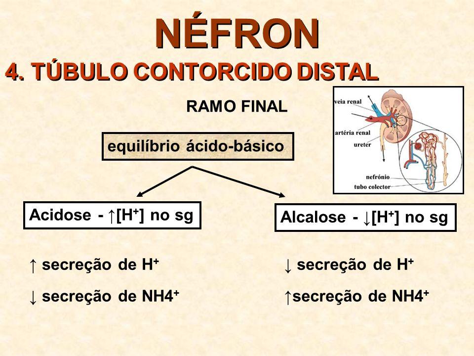 NÉFRON 4. TÚBULO CONTORCIDO DISTAL RAMO FINAL equilíbrio ácido-básico