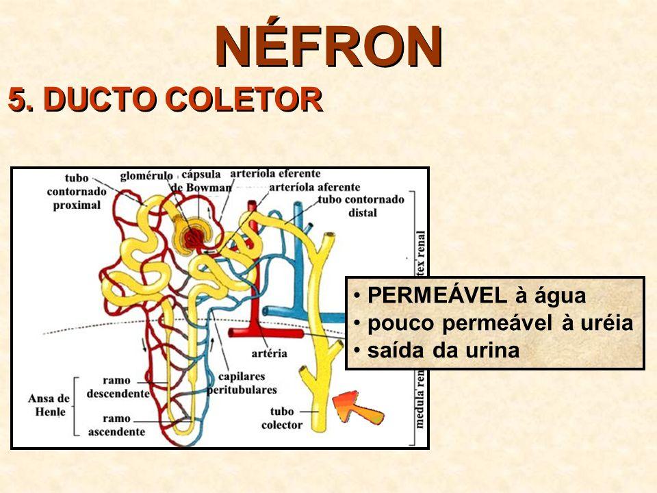 NÉFRON 5. DUCTO COLETOR PERMEÁVEL à água pouco permeável à uréia