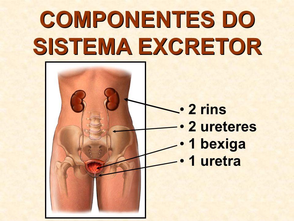 COMPONENTES DO SISTEMA EXCRETOR